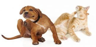 dog-and-cat-pets-infected-with-fleas-and-other-pests-scratching