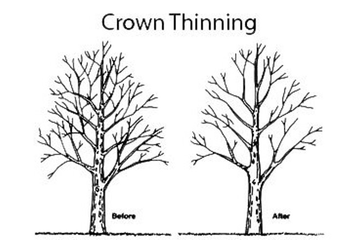 basic-illustration-of-crown-thinning-pruning-method-of-tree-and-shrubs
