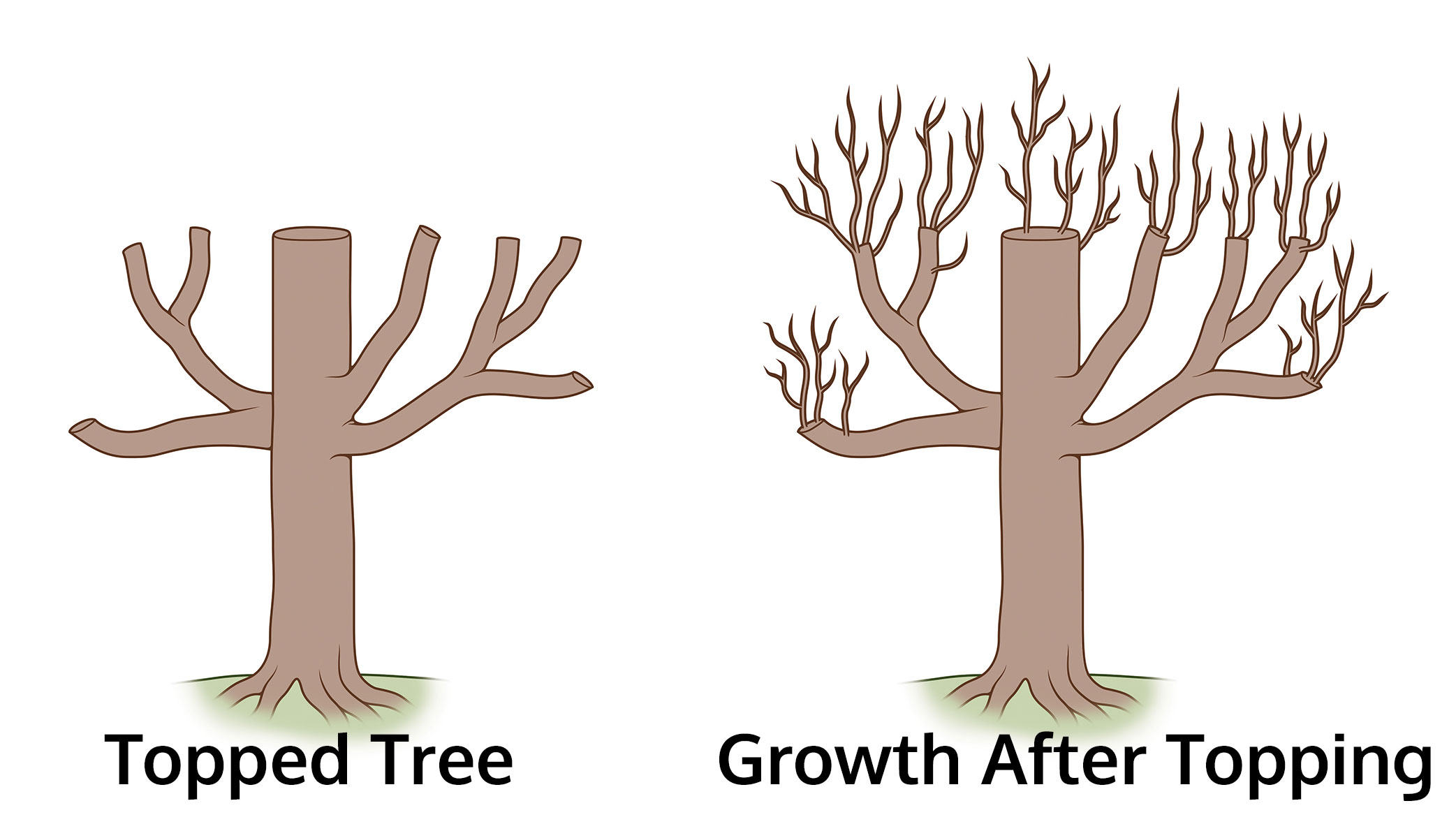 illustration-of-growth-after-pruning-trees-topping