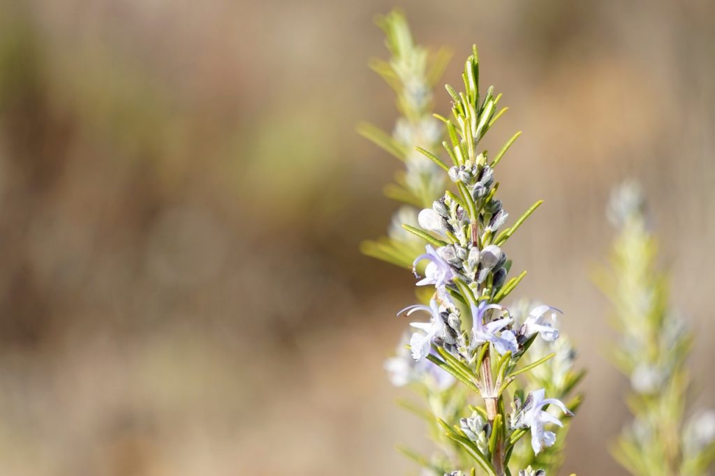 rosemary-herbal-remedy-for-fleas-and-other-pests