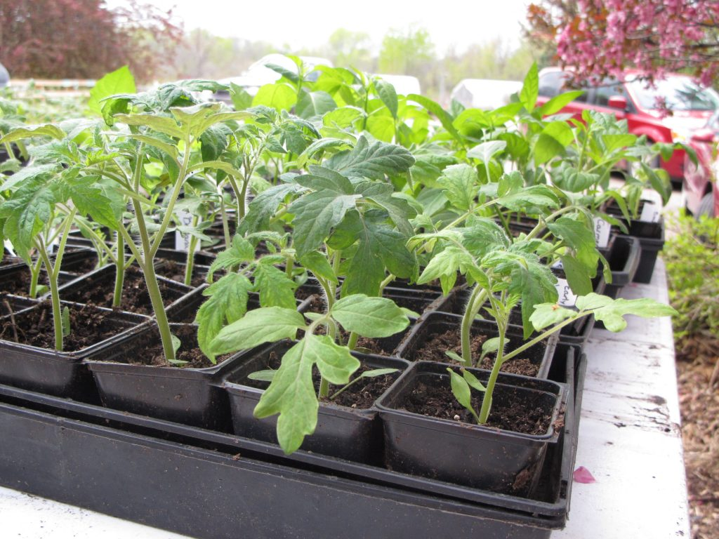 Tomato-seed-tray-seedling-for-new-plants